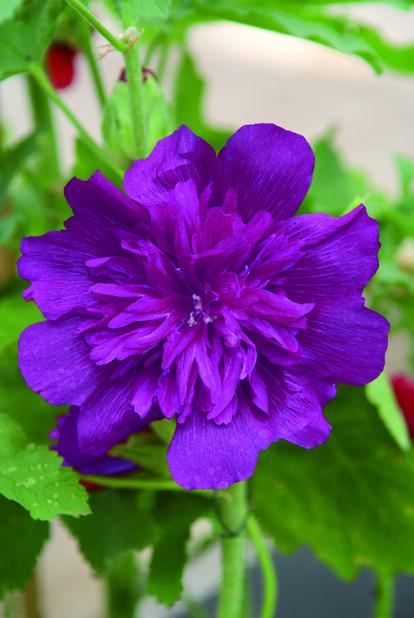 Tarhasalkoruusu , Ø11 cm, Violetti