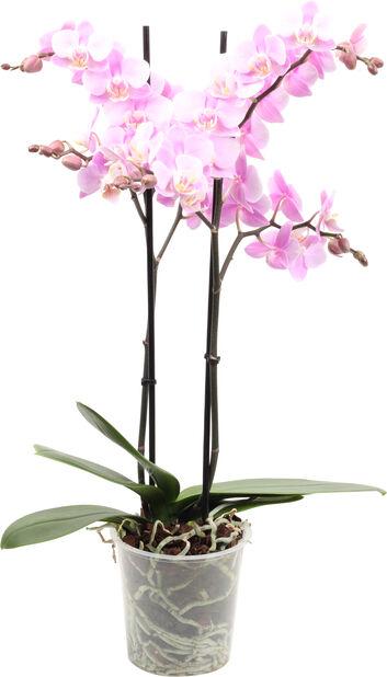 Perhosorkidea, Korkeus 45 cm, Useita värejä