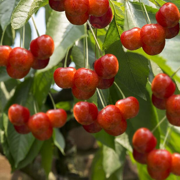 Kirsikkapuu 'Cherry Boop' kääpiöivä, Korkeus 75 cm, Punainen