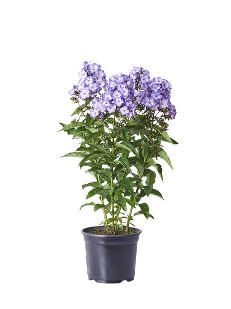 Syysleimu , Ø17 cm, Violetti