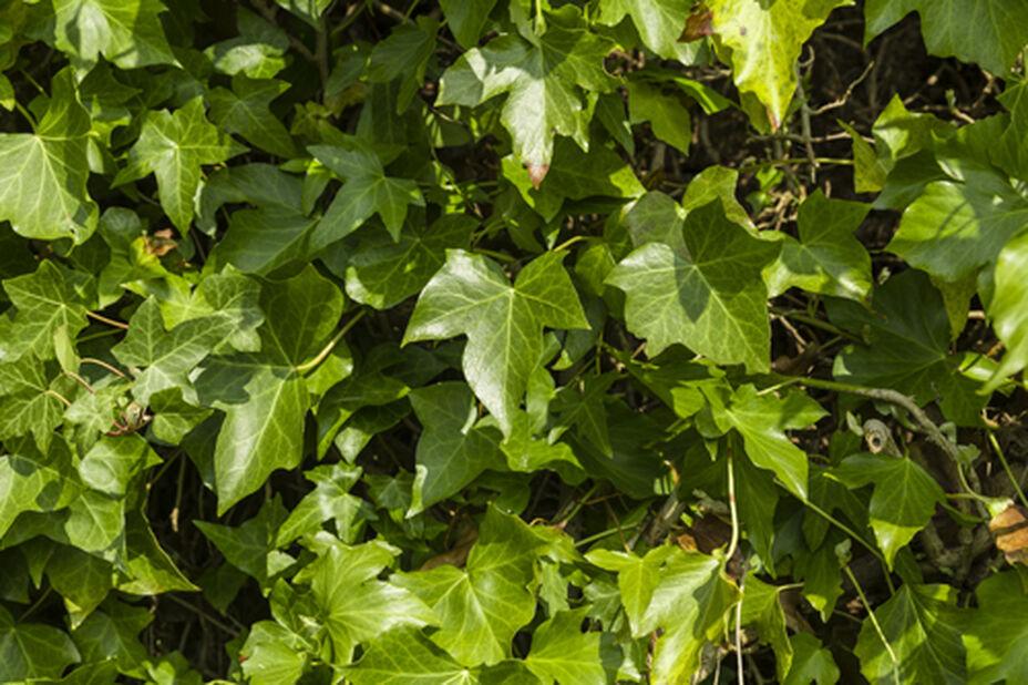 Muratti, Korkeus 90 cm, Vihreä