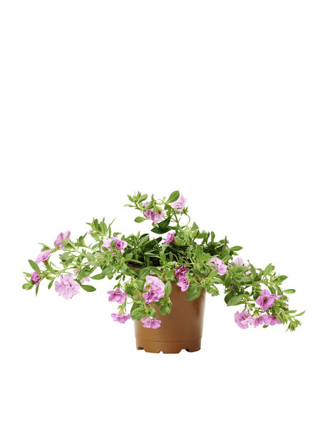 Calibrachoa Double Pink 12 cm
