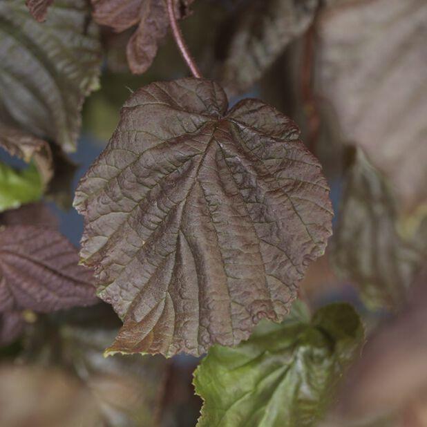 Pähkinäpensas 'Red Majestic', Korkeus 80 cm, Vihreä