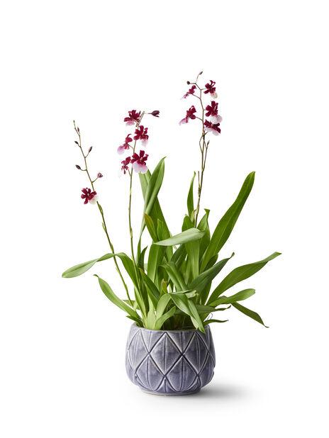 Orkidea 'Cambria', Korkeus 60 cm, Useita värejä