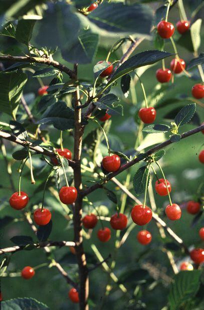 Kirsikka 'Sikkolankirsikka', Korkeus 180 cm, Punainen