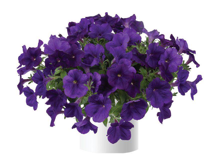 Petunia 'Picobella', Ø12 cm, Useita värejä