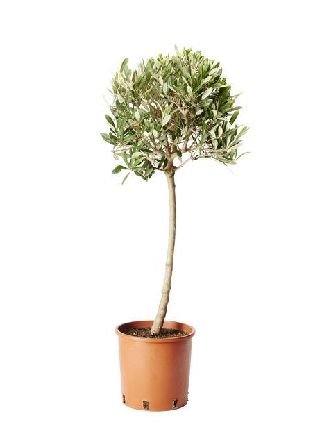 Oliivipuu rungollinen, Ø19 cm, Harmaa