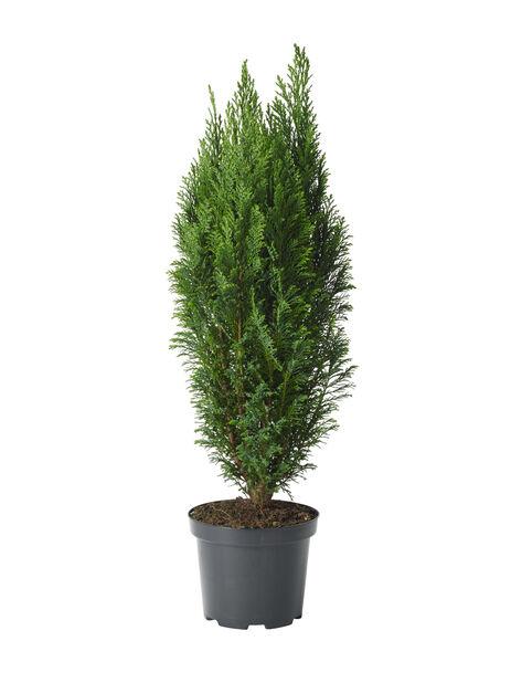 Sypressi Elwoodii 19 cm