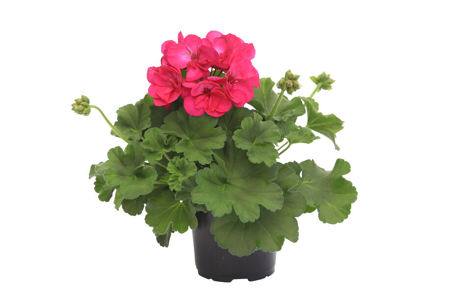 Pelargoni Calliope 'Deep Rose', Ø12 cm, Pinkki