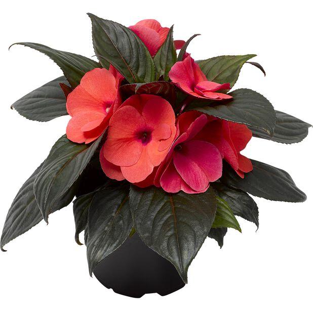Uudenguineanliisa, Ø12 cm, Punainen