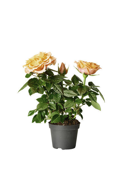 Ruukkuruusu , Korkeus 12 cm, Pinkki