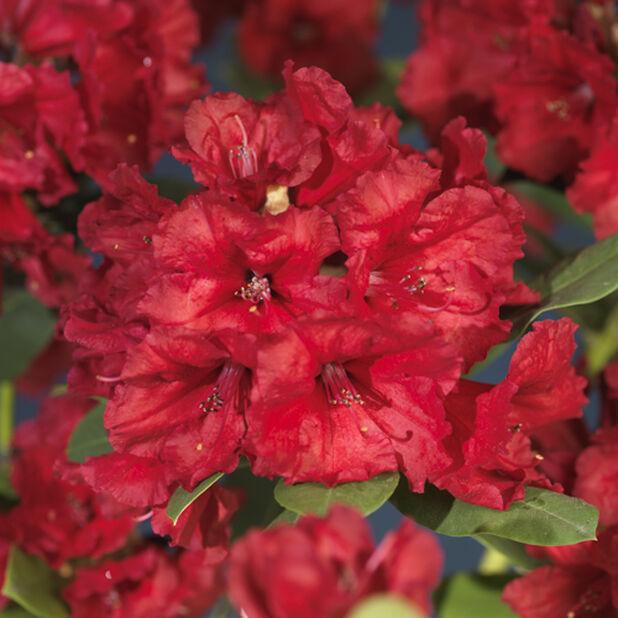 Alppiruusu 'Red Jack', Ø35 cm, Punainen