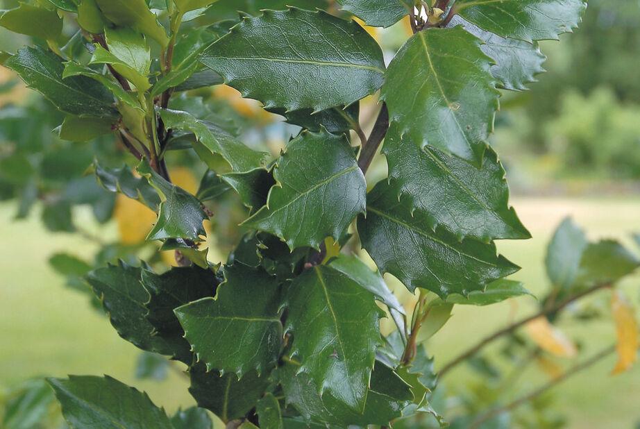 Pihaorjanlaakeri 'Heckenstar', Korkeus 30 cm, Vihreä