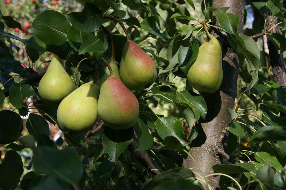 Päärynä 'Pepi'