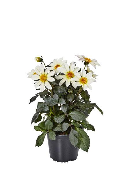 Dahlia 'Happy Days' White 14 cm
