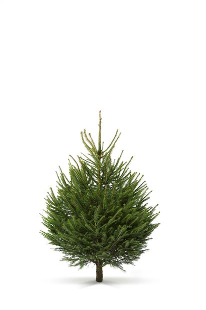 Metsäkuusi, Korkeus 100-140 cm, Vihreä
