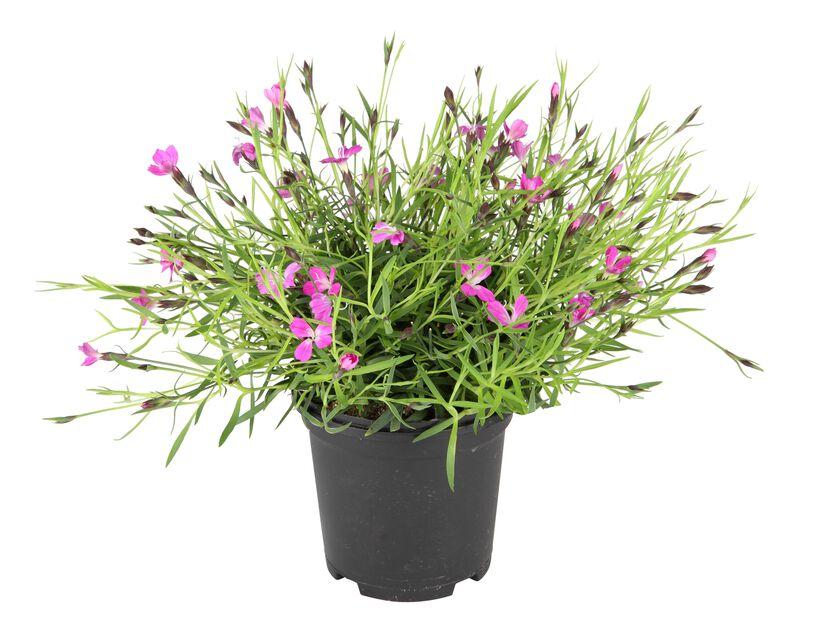 Dianthus hybrid Pink 12 cm