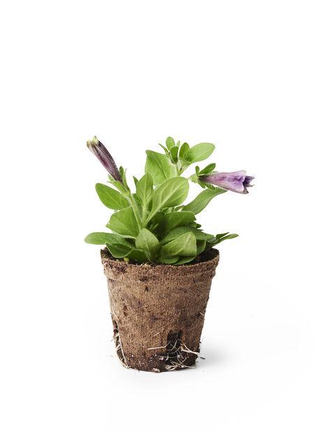 Petunia pistokas, Ø6 cm, Useita värejä