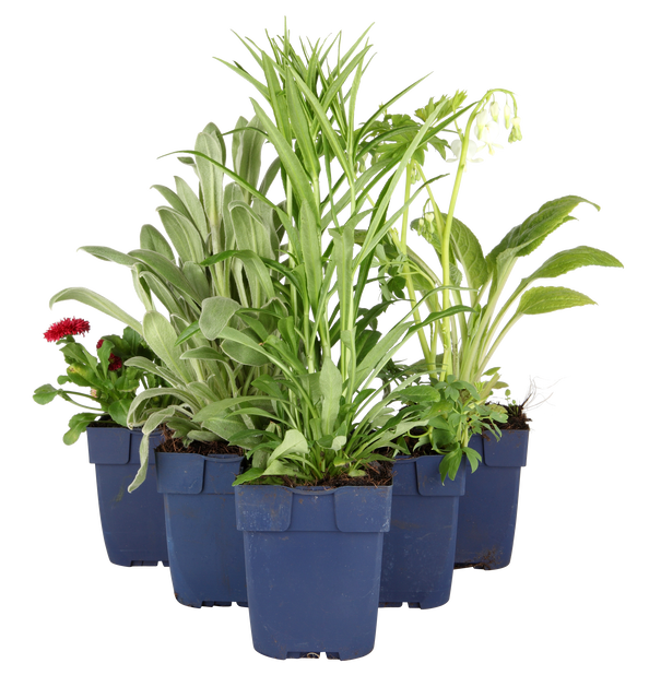 Tarhakuunlilja, Korkeus 15 cm, Vihreä