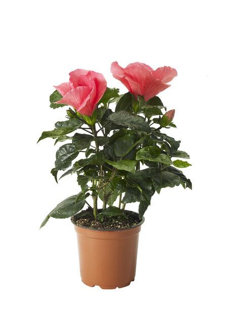 Hibiskus, Korkeus 25 cm, Pinkki