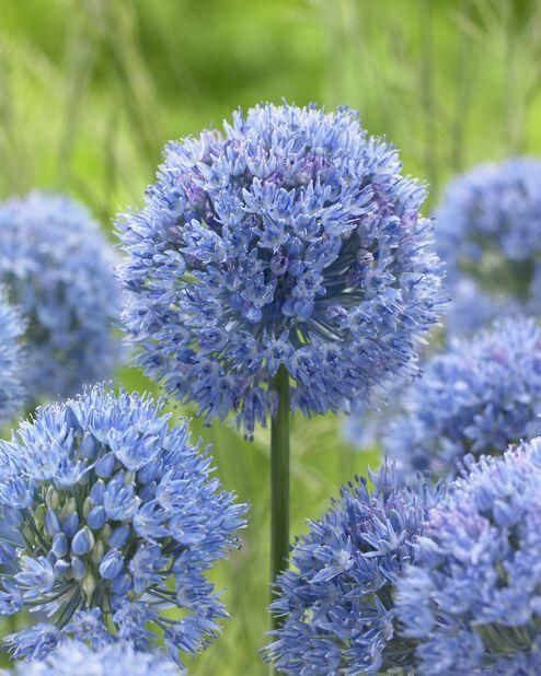 Allium 'Caeruleum', Sininen