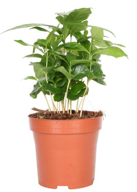 Kahvipensas, Korkeus 25 cm, Vihreä