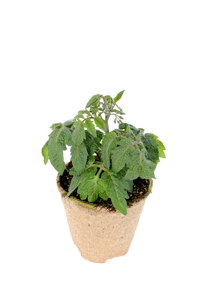 Tomaatti 'Tarzan' KRAV-luomumerkitty, Ø10.5 cm, Punainen