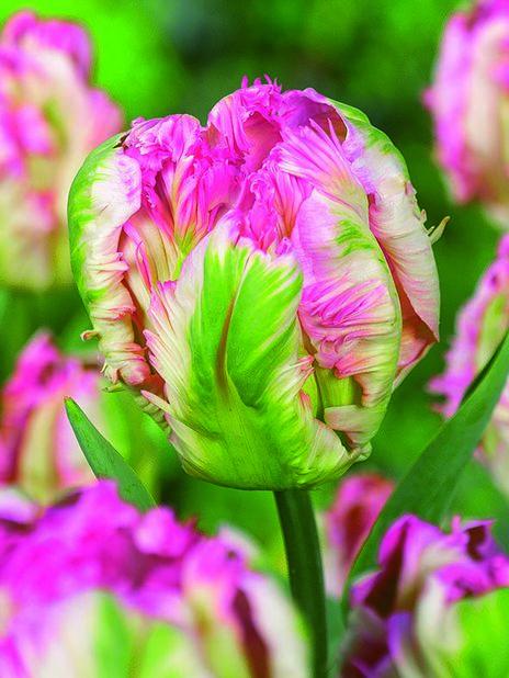 Tulppaani 'Pink Vision', Pinkki