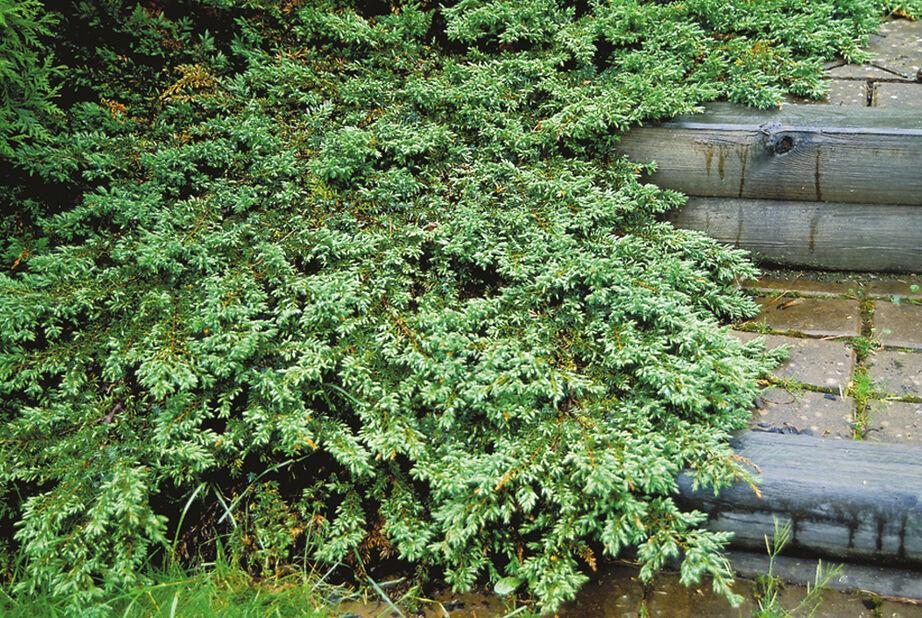 Kääpiökataja 'Green Carpet', Korkeus 25 cm, Vihreä