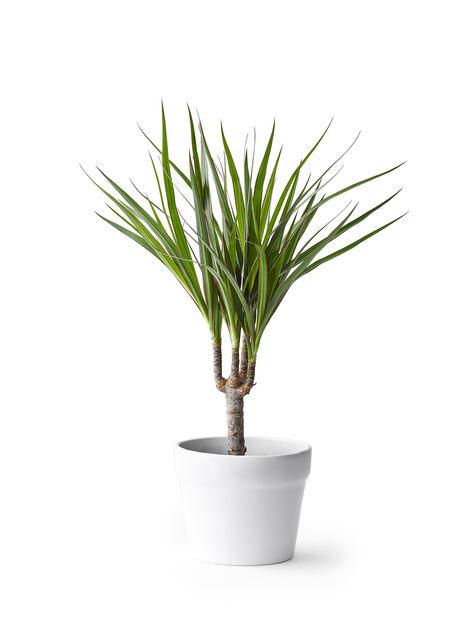 Reunustraakkipuu, Korkeus 40 cm, Vihreä