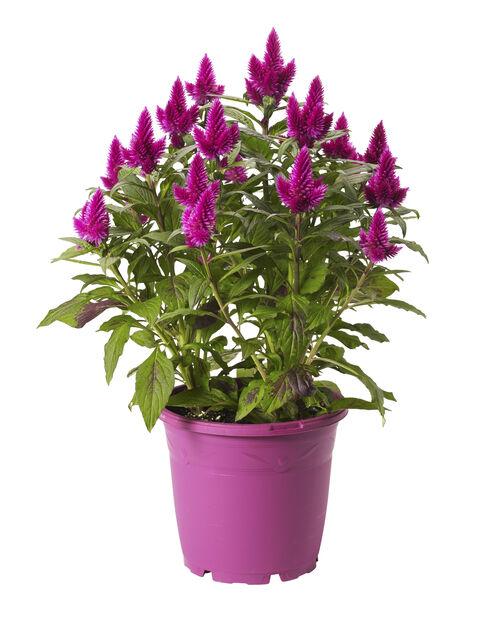 Kukonharja 'Deep purple', Ø19 cm, Violetti