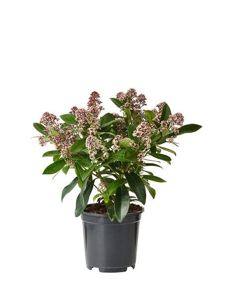 Skimmia japonica 'Rubella', Ø19 cm, Punainen