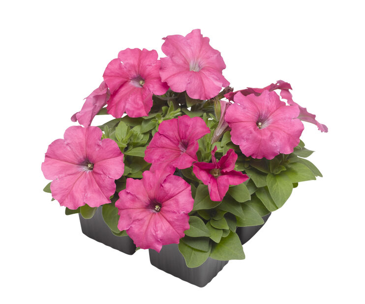 Petunia, 6 kpl, Pinkki