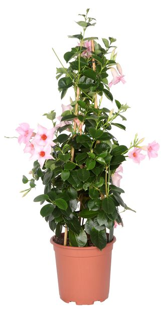 Maljaköynnös, Ø17 cm, Pinkki