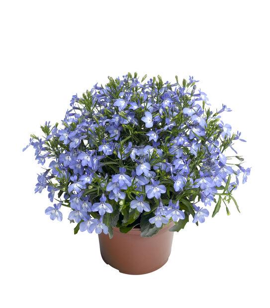 Lobelia 'Dark Blue', Ø12 cm, Sininen