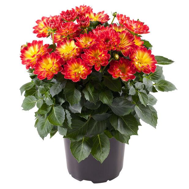 Dahlia Bicolor 12 cm