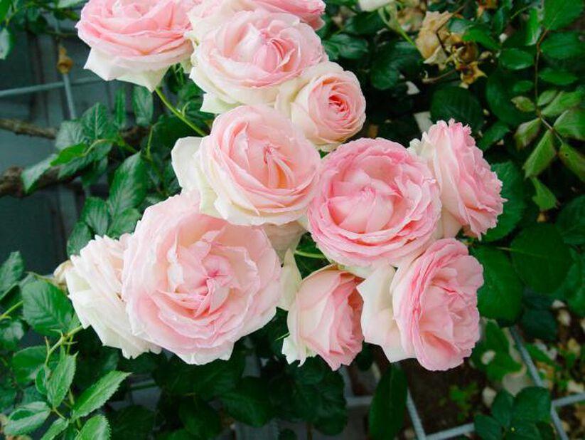 Ryhmäruusu 'Eden Rose' 4L