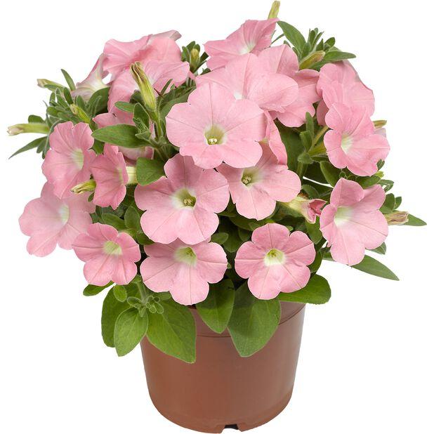 Petunia Dekko 'Bright Pink', Ø12 cm, Pinkki