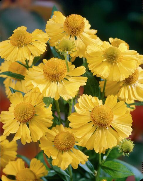 Kesähohdekukka , Korkeus 15 cm, Keltainen