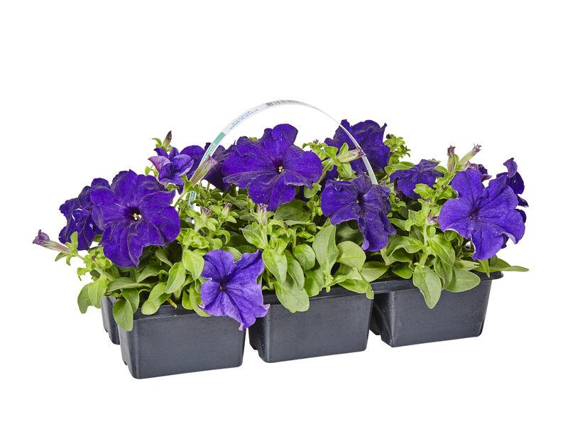 Petunia, 6 kpl, Sininen