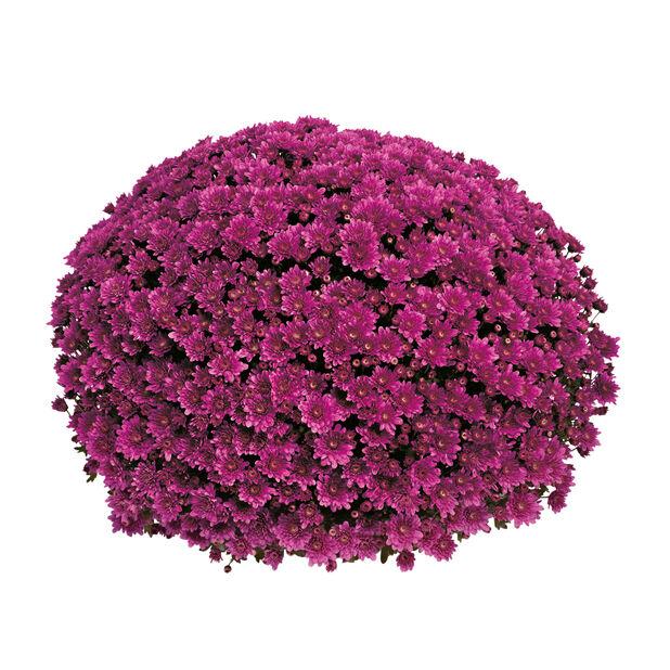 Pallokrysanteemi, Ø19 cm, Violetti