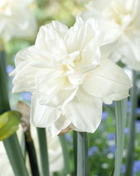 Narcissi 'White Medal'