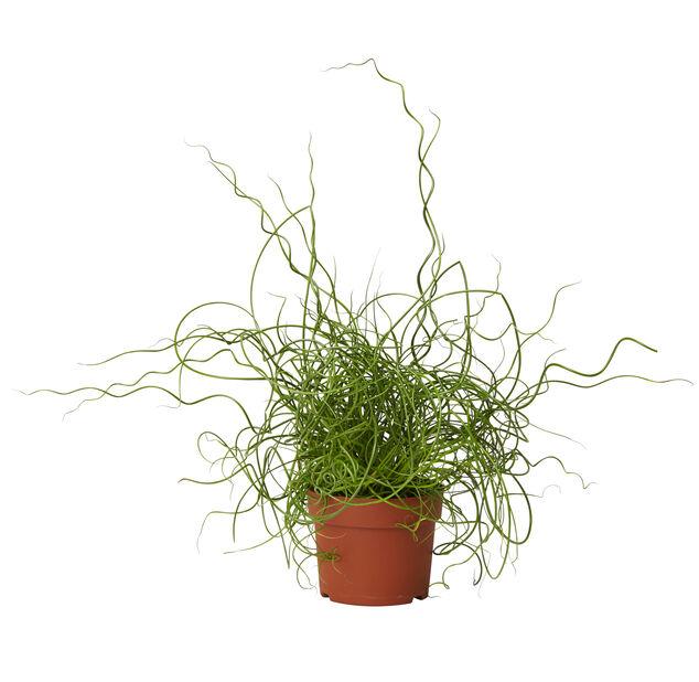 Kierreröyhyvihvilä , Korkeus 10 cm, Vihreä