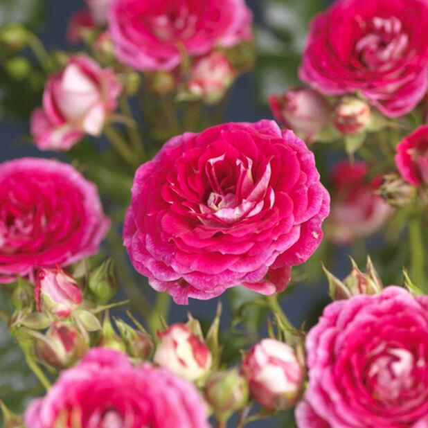 Terassiruusu 'Cerise Flower Circus', Ø19 cm, Pinkki