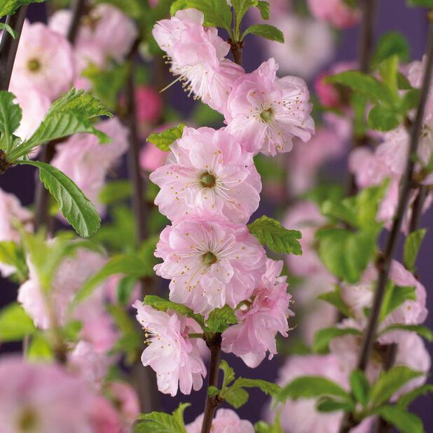Ruusumanteli rungollinen, Korkeus 80-100 cm, Pinkki