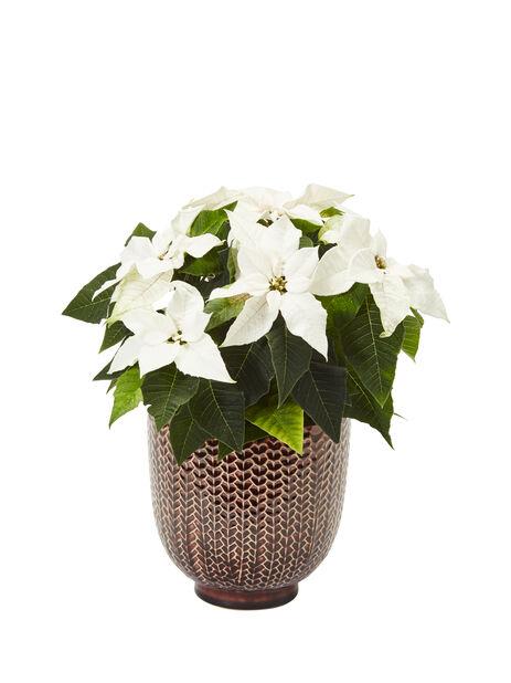 Joulutähti 'Princettia' , Korkeus 30 cm, Valkoinen