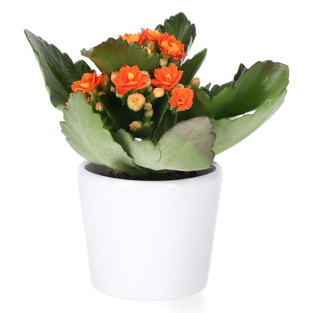 Tulilatva, Korkeus 10 cm, Oranssi