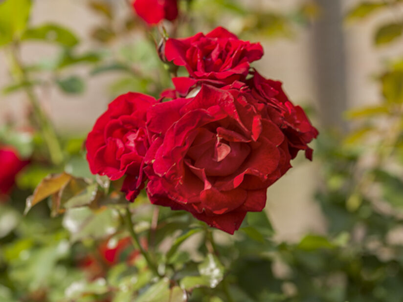 Terassiruusu, Korkeus 65 cm, Punainen
