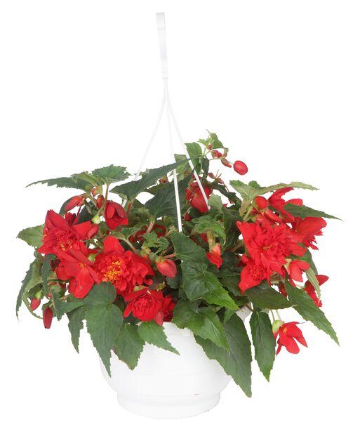 Begonia 'Bonfire' 25 cm