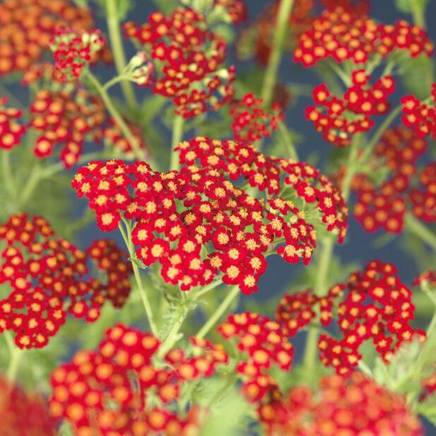 Kärsämö 'Desert Eve Red', Ø17 cm, Pinkki
